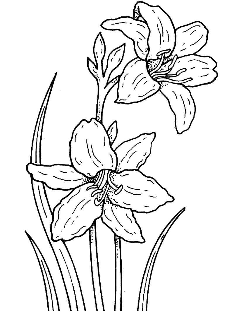 Раскраска нарцисс цветок 5