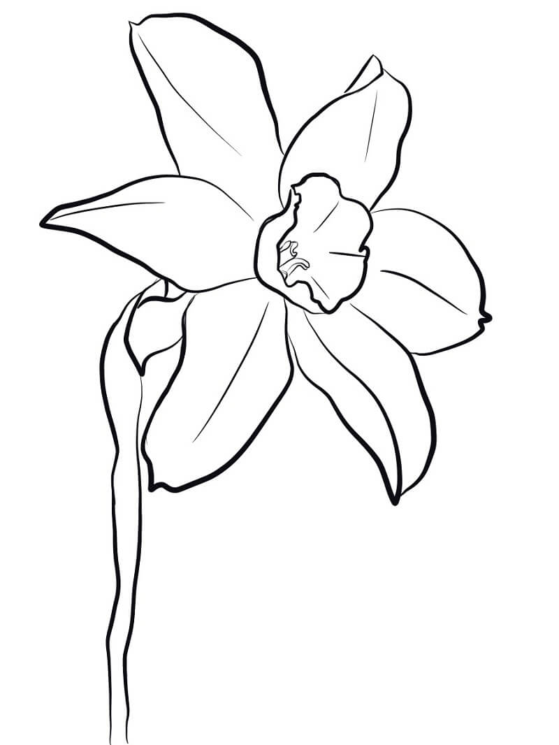Раскраска нарцисс цветок