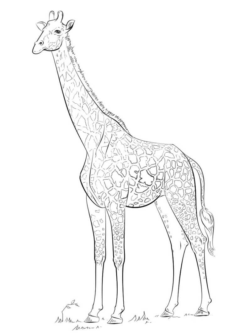 Раскраска нормальный жираф