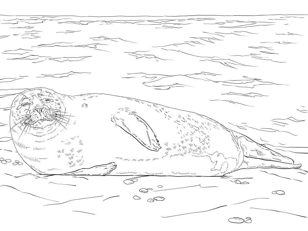 Раскраска Обыкновенный тюлень на льдине