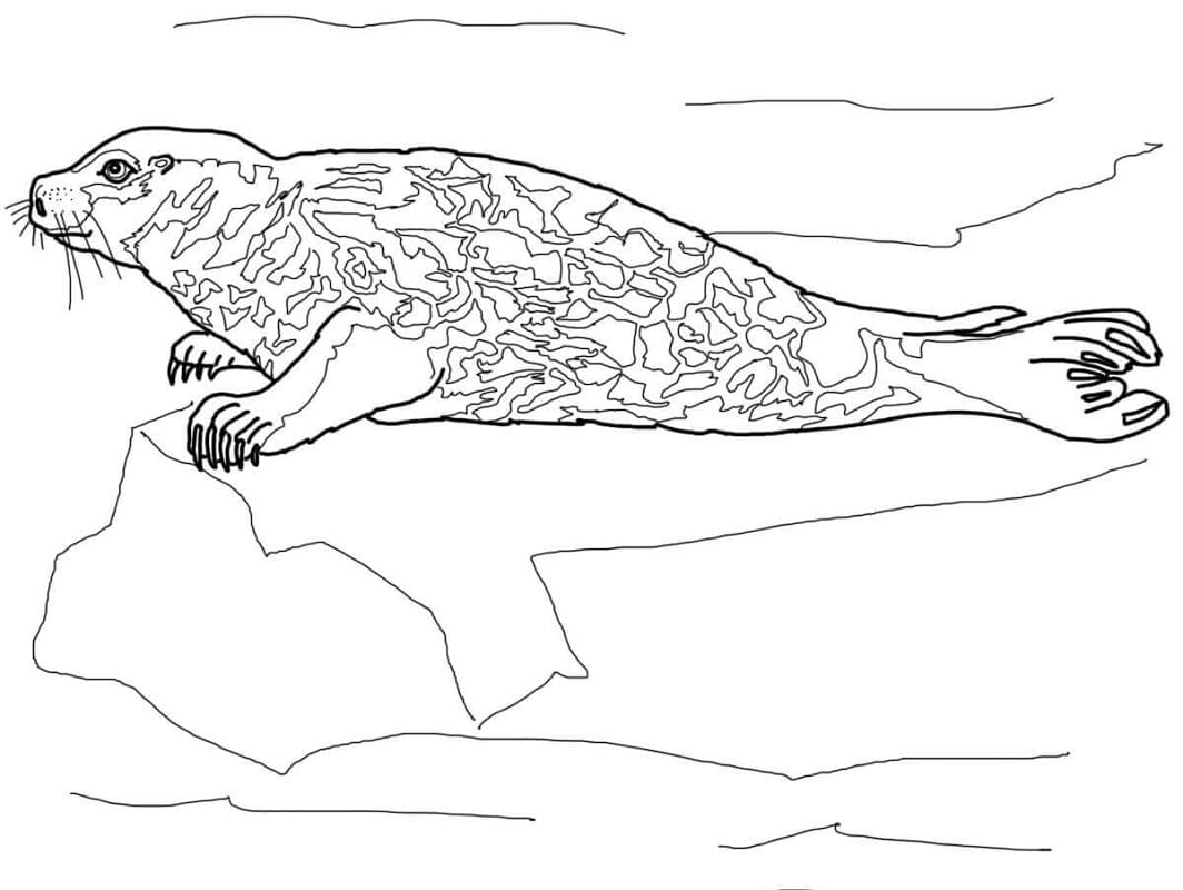Раскраска Обыкновенный тюлень