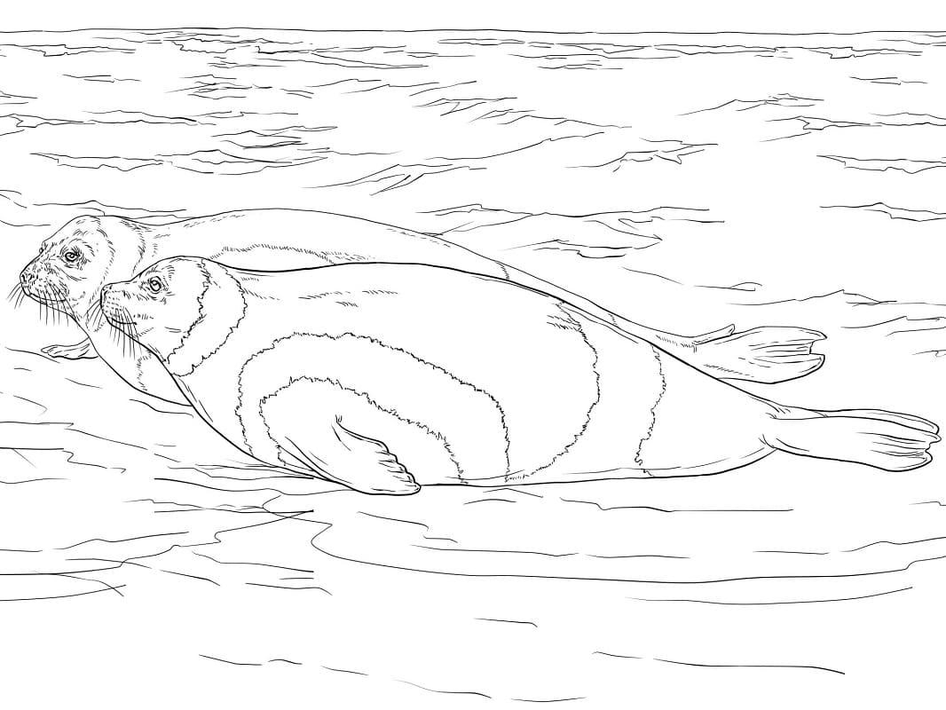 Раскраска Полосатые тюлени