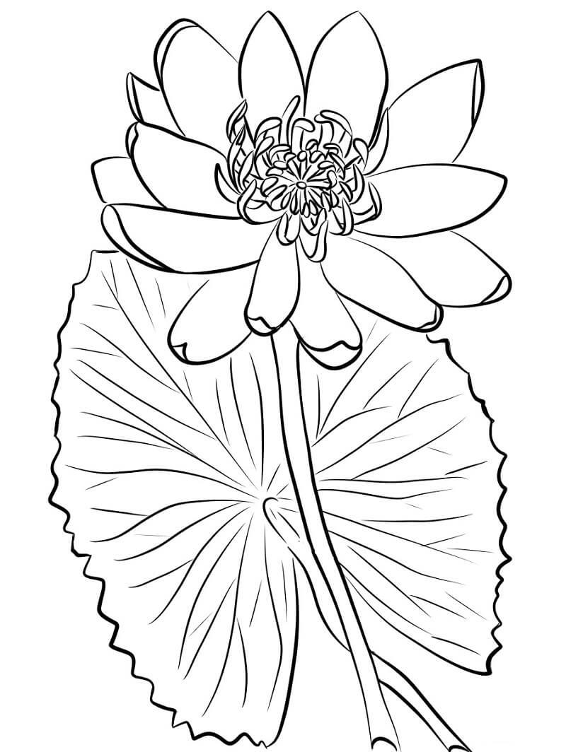Раскраска прекрасная водяная лилия 1