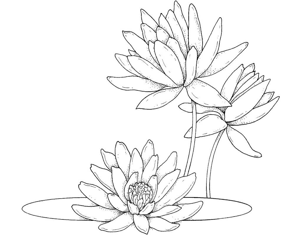 Раскраска прекрасная водяная лилия 3