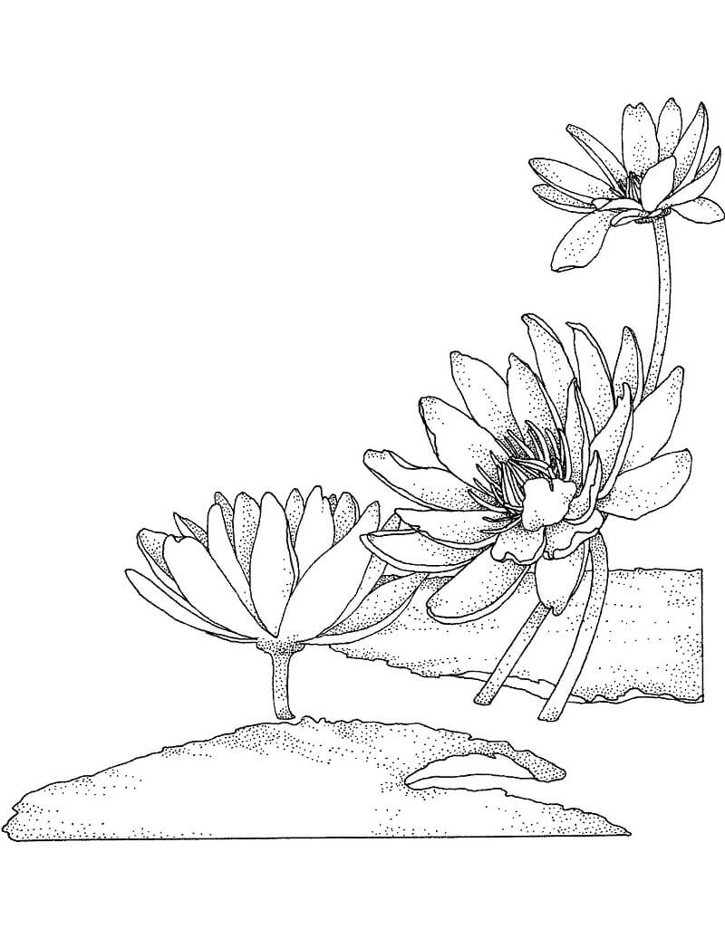 Раскраска прекрасная водяная лилия 5