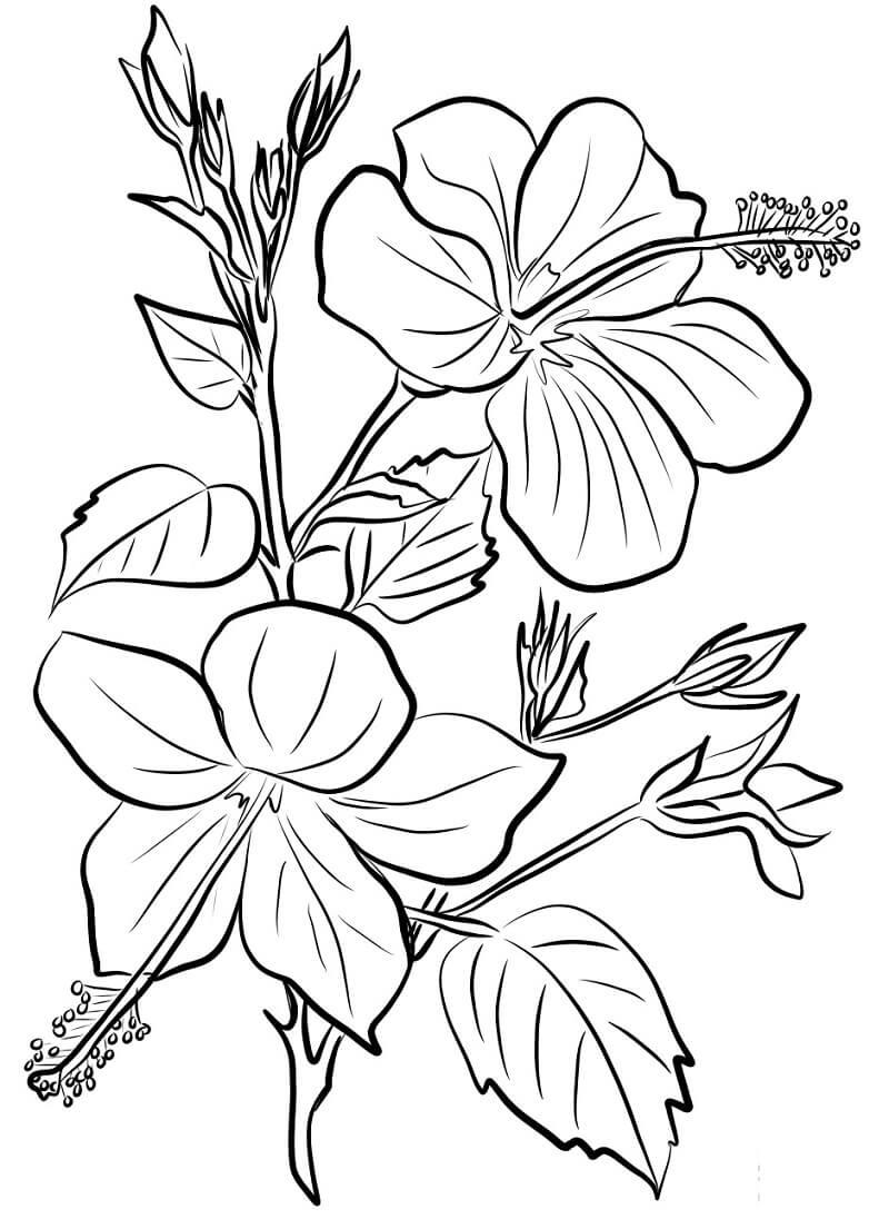 Раскраска Цветок гибискус