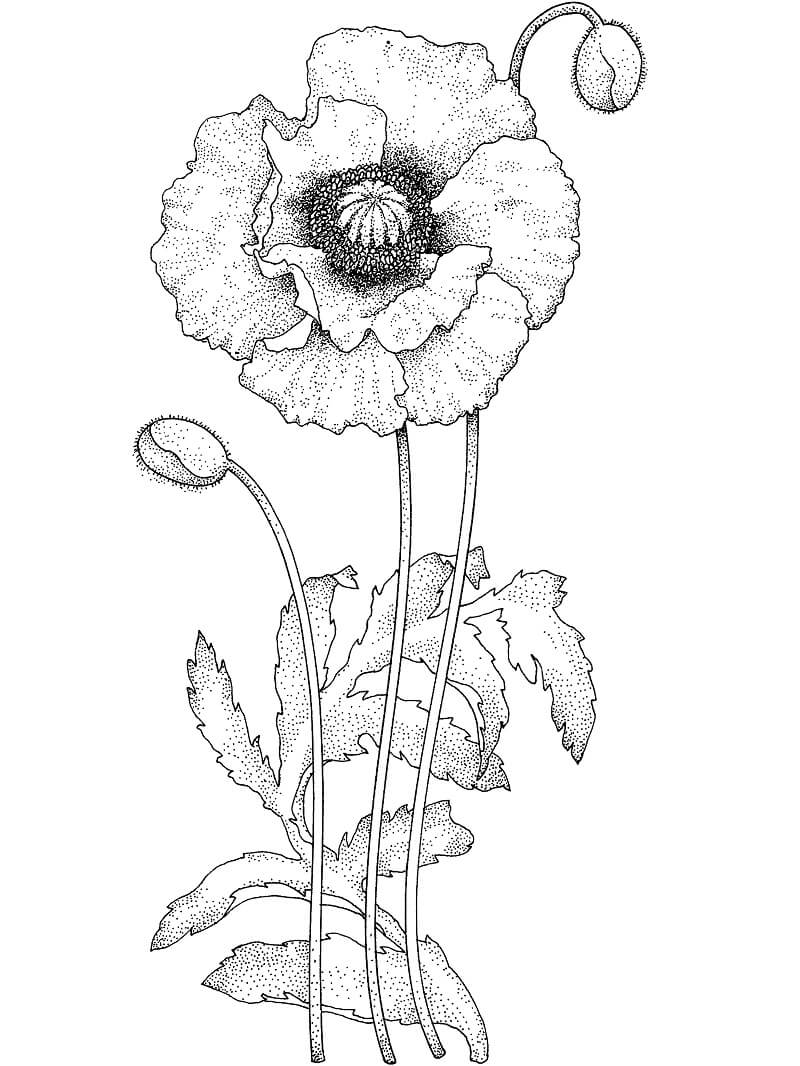 Раскраска Цветок Мака 2