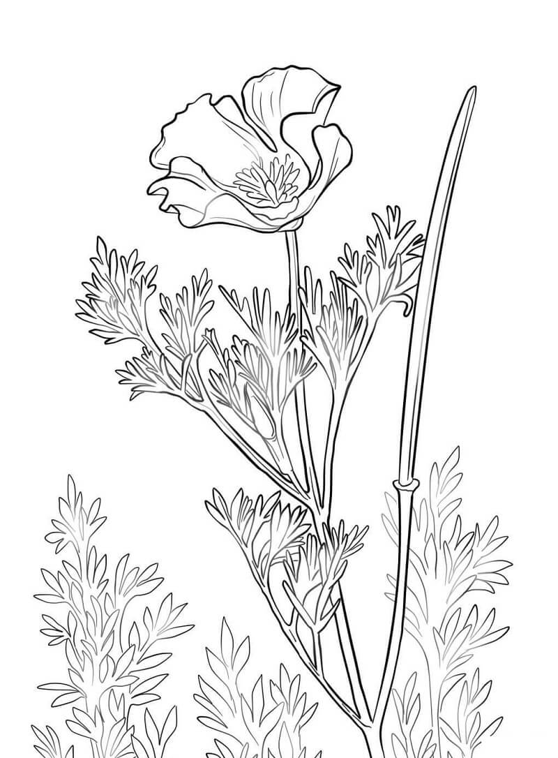 Раскраска Цветок Мака 4