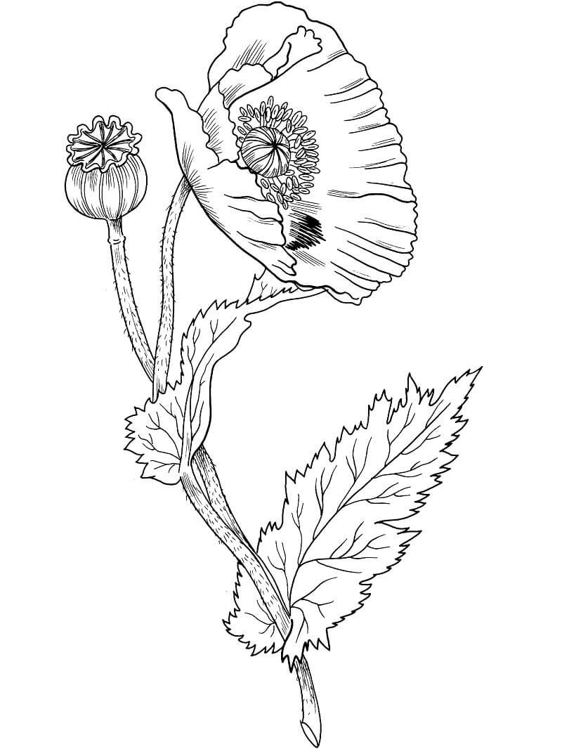 Раскраска Цветок Мака