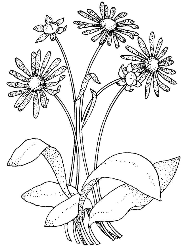 Раскраска цветы ромашки 2
