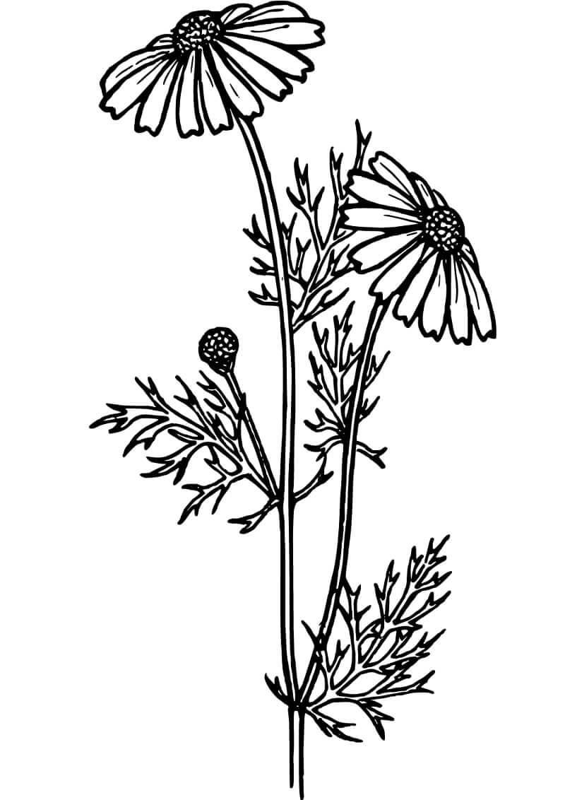 Раскраска цветы ромашки 3