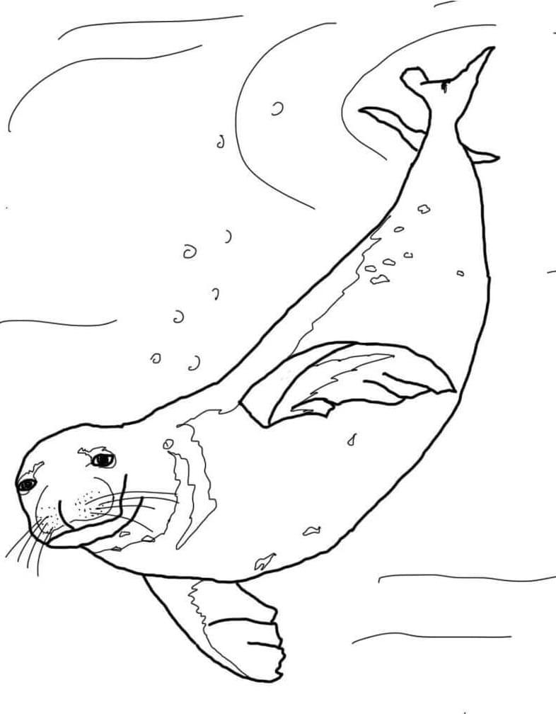 Раскраска Раскраски Тюлень