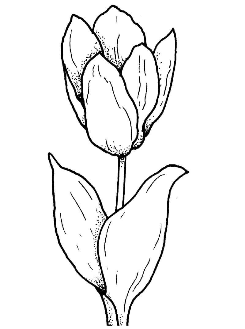 Раскраска Тюльпан 1