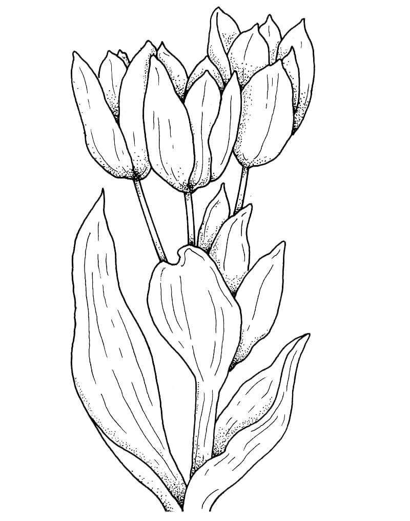 Раскраска тюльпаны цветок