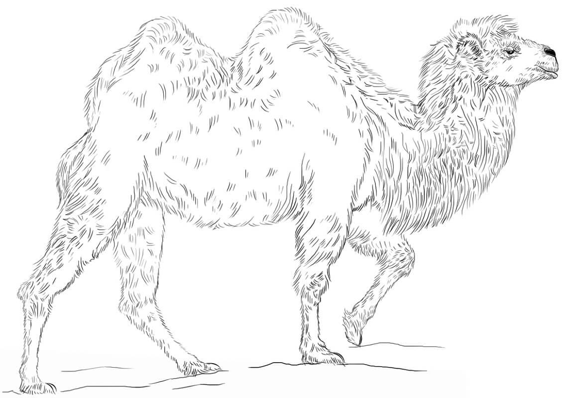 Раскраска верблюд 1