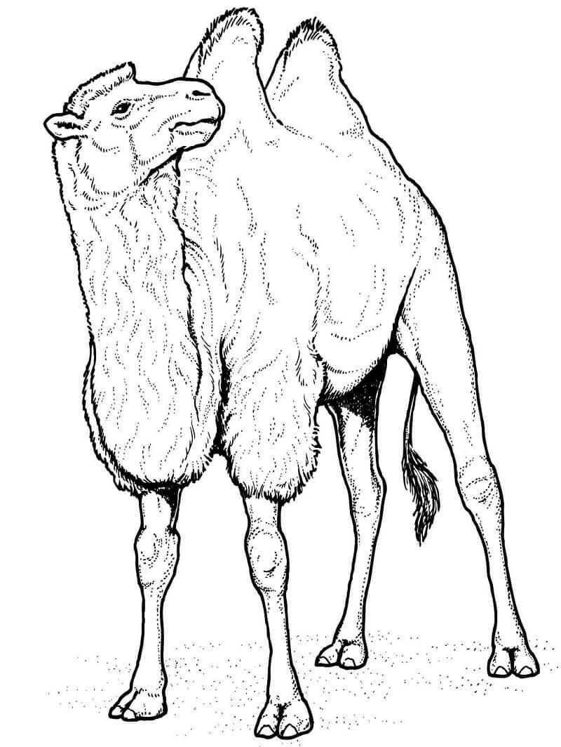 Раскраска верблюд 10