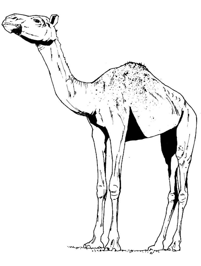 Раскраска верблюд 12