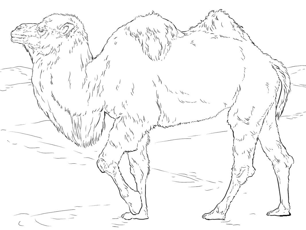Раскраска верблюд 2