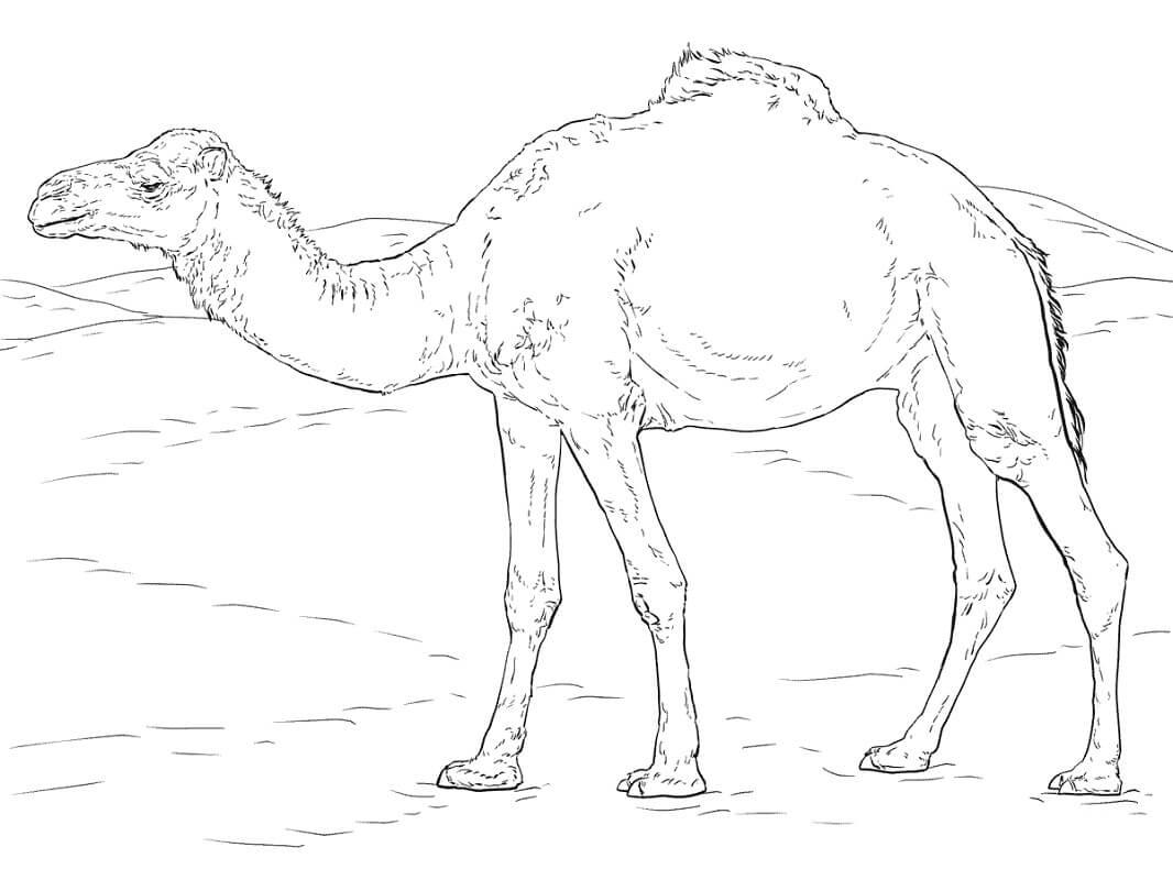 Раскраска верблюд 3
