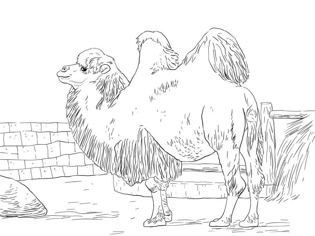 Раскраска верблюд 6