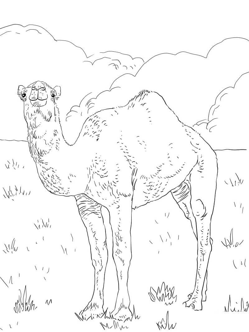 Раскраска верблюд 7