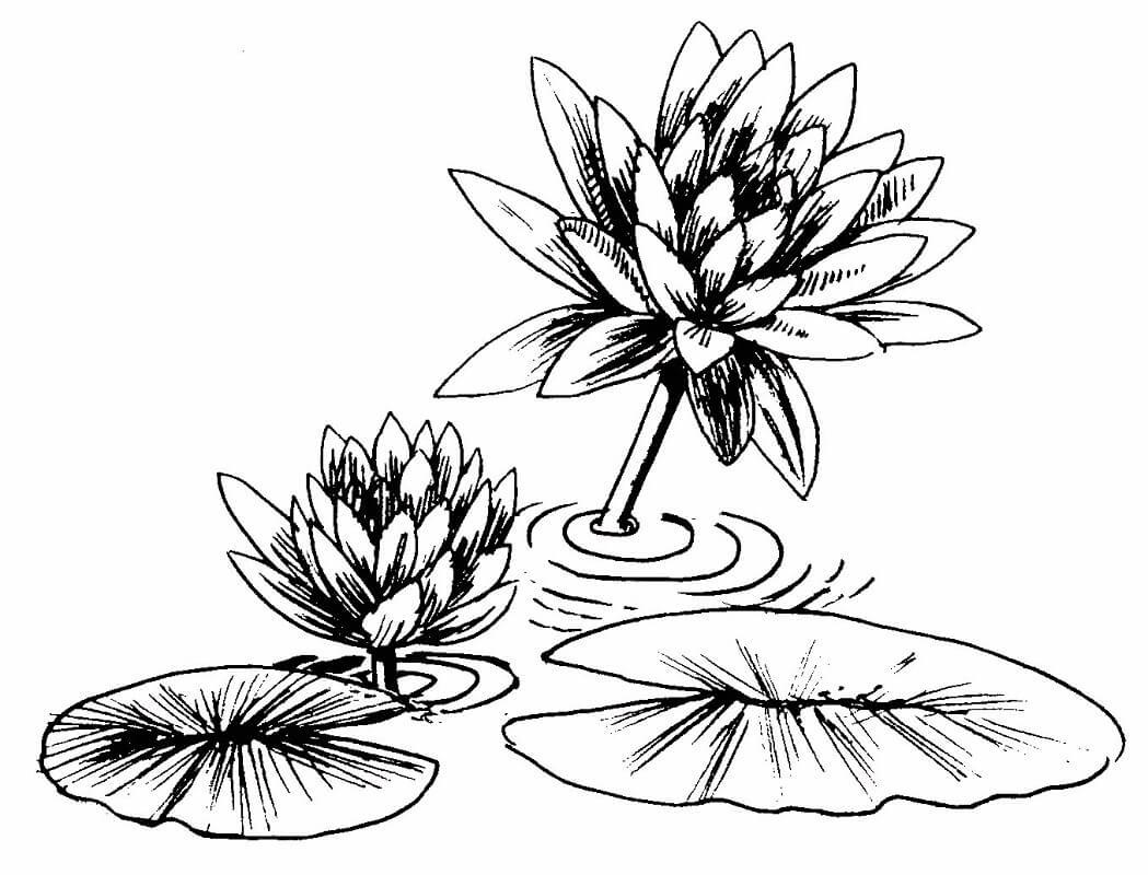 Раскраска водяная лилия 2