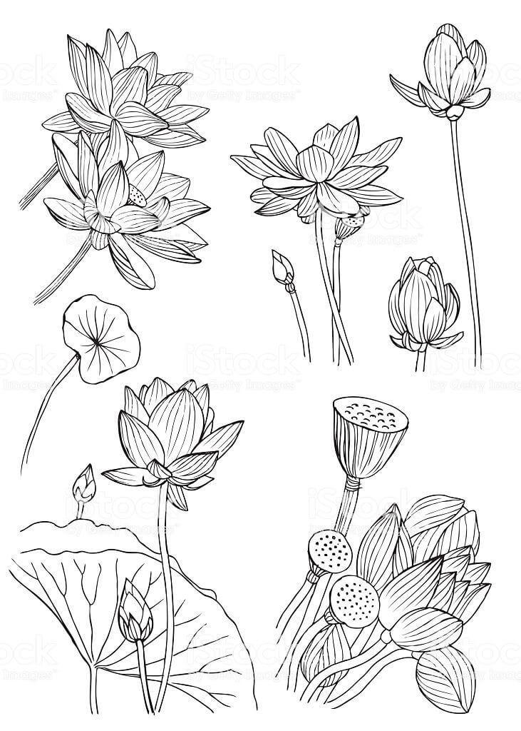 Раскраска водяная лилия 3