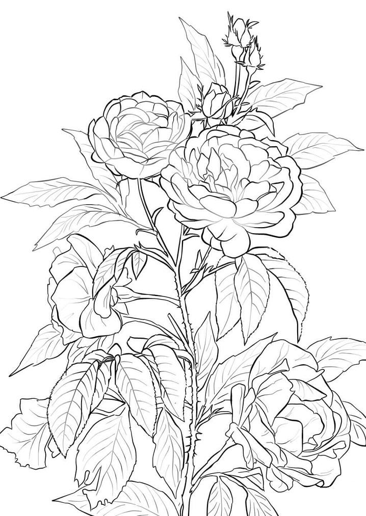 Раскраска Розовый куст