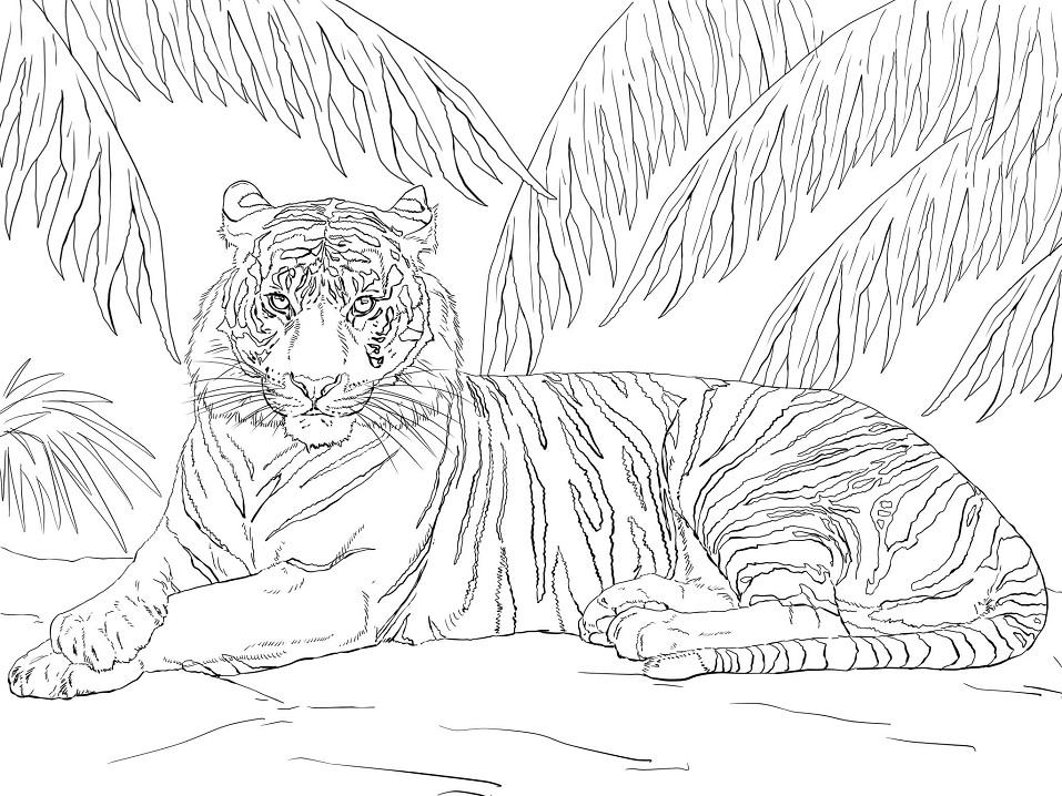 Раскраска Суматранский тигр