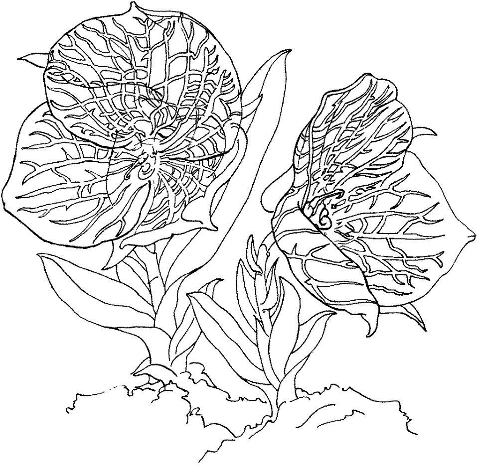 Раскраска Орхидея Телипогон