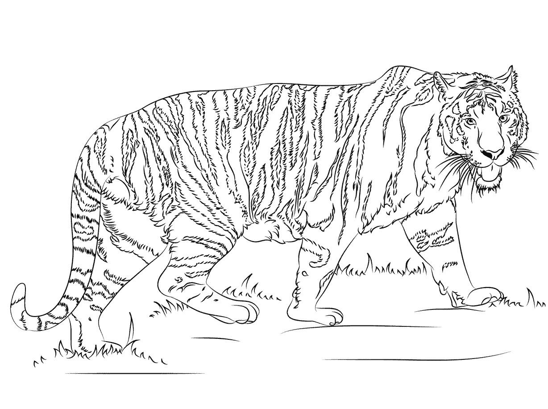Раскраска Идущий тигр