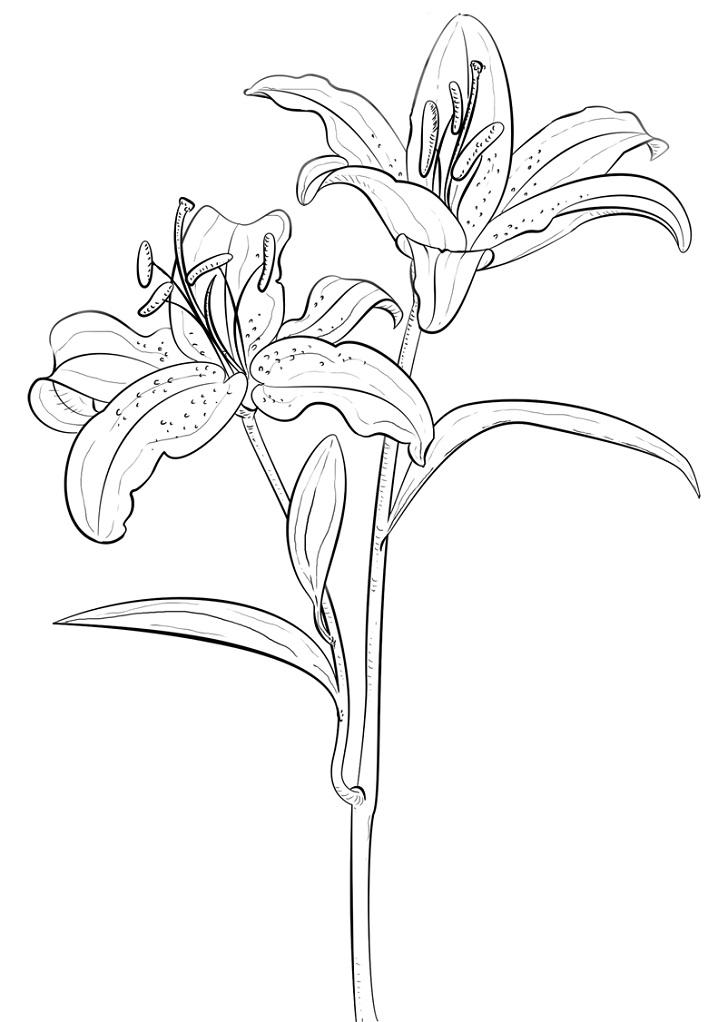 Раскраска Тигровая лилия