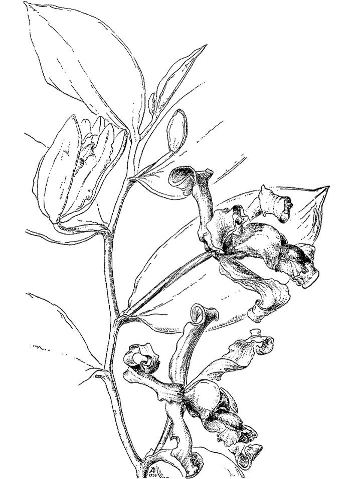 Раскраска Ванильная орхидея