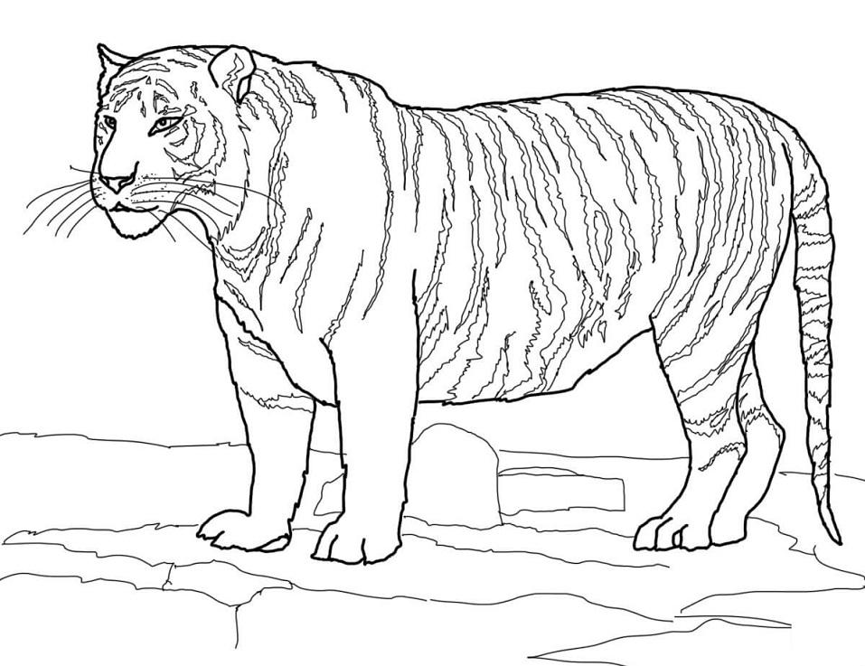 Раскраска Белый бенгальский тигр