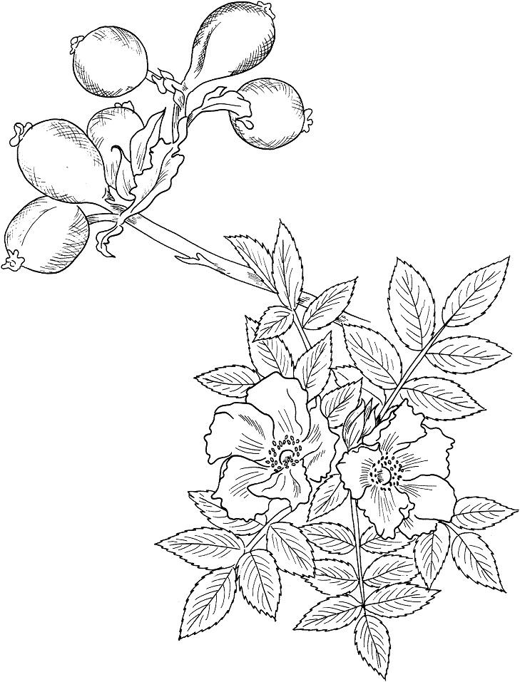 Раскраска Шиповник иглистый
