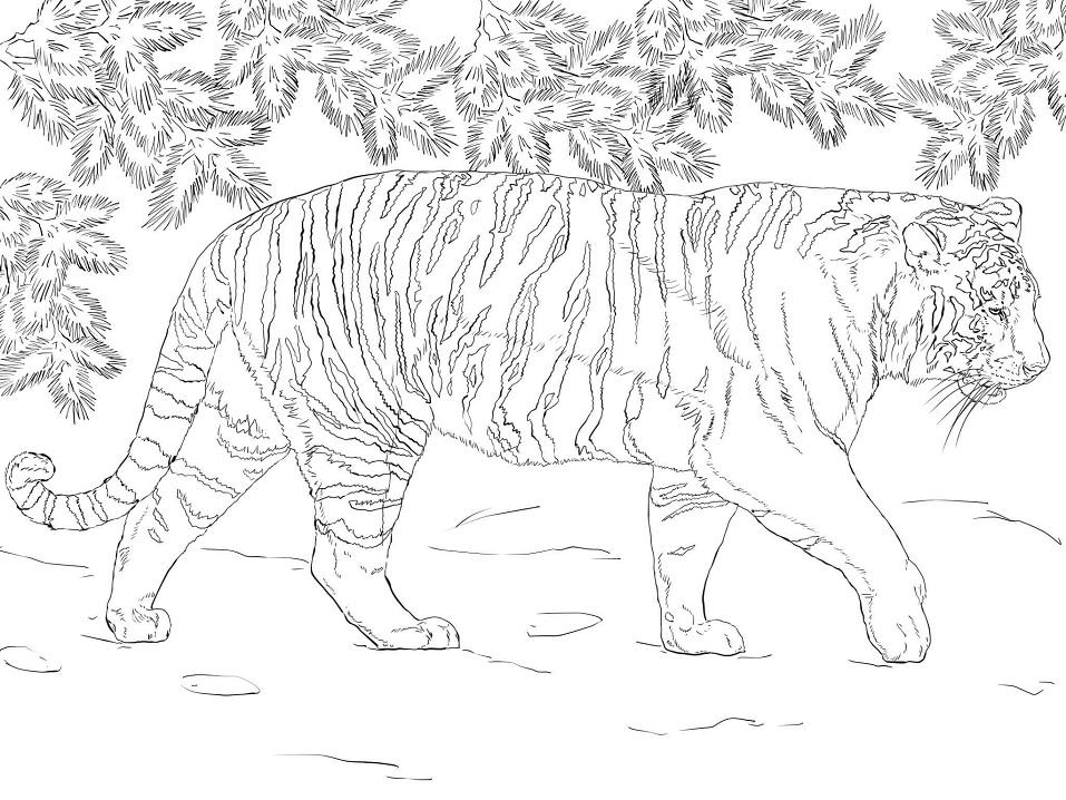 Раскраска Амурский тигр 2