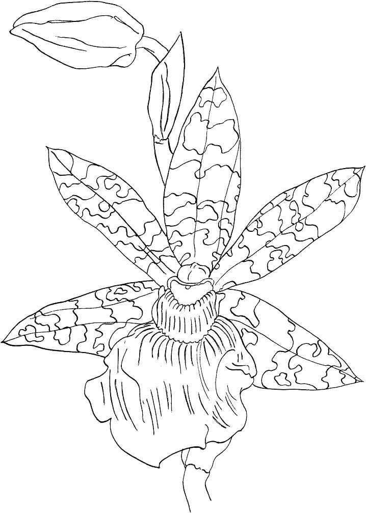 Раскраска Орхидея Зигопеталум